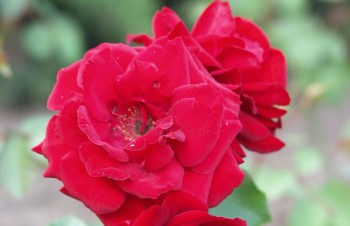 Thumbnail Rosa 'Bel Angel' – Rose
