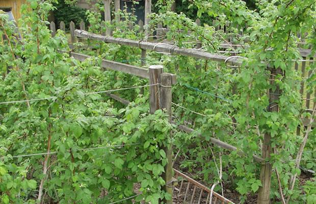 Rubus Idaeus Himbeere Pflanzenreich