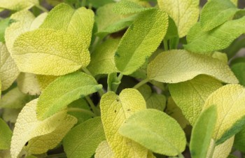 Thumbnail Salvia officinalis 'Kew Gold' – Gold-Salbei