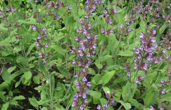 Thumbnail Salvia officinalis – Salbei