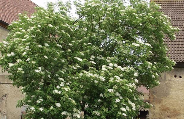 sambucus nigra schwarzer holunder pflanzenreich