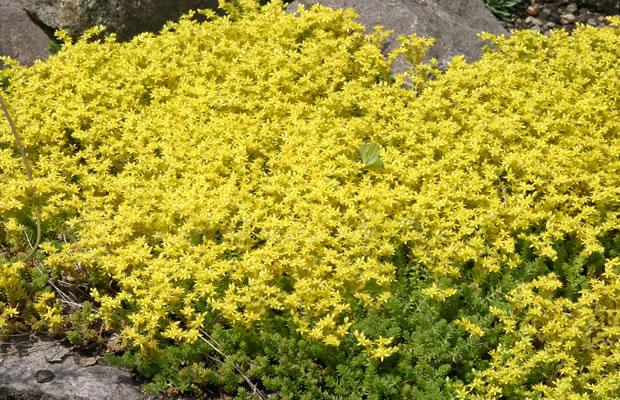 steingartenpflanzen pflanzengruppe › seite 44 › pflanzenreich,