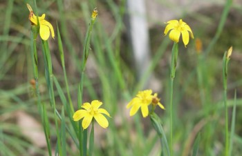 Thumbnail Sisyrinchium californicum – Kalifornisches Grasschwertel
