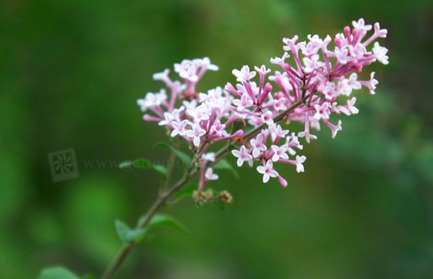 syringa vulgaris 39 mme lemoine 39 edel flieder pflanzenreich. Black Bedroom Furniture Sets. Home Design Ideas