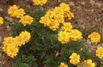 Thumbnail Tagetes 'Golden Queen' – Studentenblume