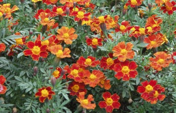Tagetes paluta 'Disco Red'