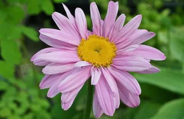 Ganz und zu Extrem Tanacetum coccineum 'Robinsons Rosa' - Bunte Garten-Margerite @WF_62