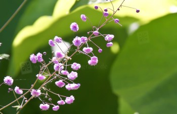 Thumbnail Thalictrum delavayi 'Hewitts Double' – Chinesische Wiesenraute