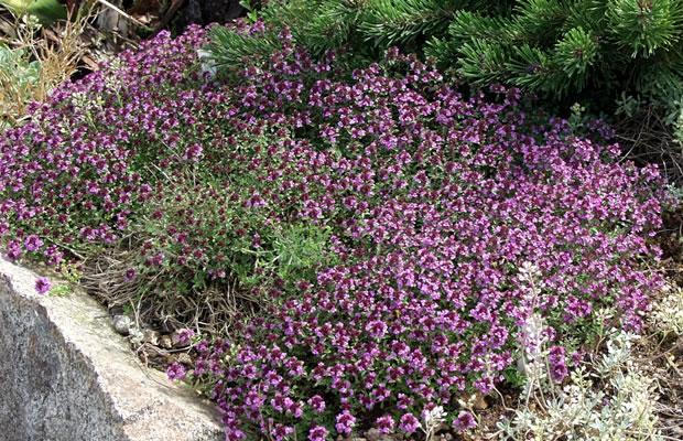 thymus serpyllum 39 coccineus 39 sand thymian pflanzenreich. Black Bedroom Furniture Sets. Home Design Ideas