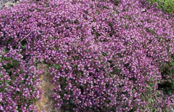 Thumbnail Thymus serpyllum 'Creeping Red' – Sand-Thymian
