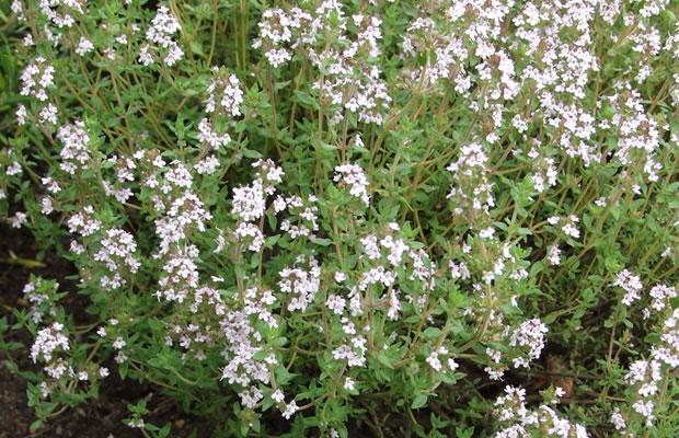 Thymus Vulgaris Echter Thymian Pflanzenreich