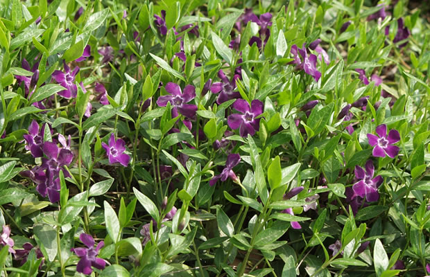 vinca minor 39 atropurpurea 39 kleines immergr n pflanzenreich. Black Bedroom Furniture Sets. Home Design Ideas