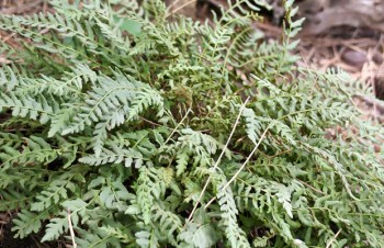 Thumbnail Woodsia polystichioides – Wimpernfarn