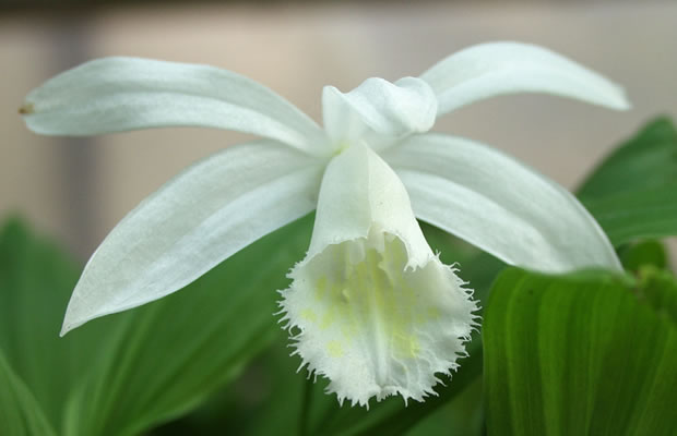Bild Pleione formosana 'Alba'